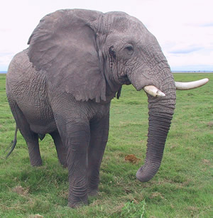 Mr. Nick  listening - 52 year old Amboseli male. (©ElephantVoices)
