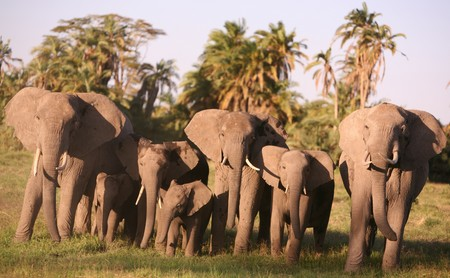ElephantVoices meeting with Kilimanjaro  elephants. (©ElephantVoices)